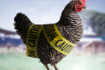 Avian Flu Threat
