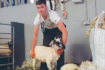 How to get the best from your sheep shearing