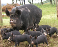 Pig Buying Guide: Berkshire