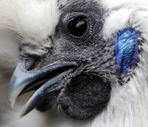 Turquoise earlobes are a Silkie speciality