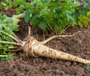 Parsnips are poisonous to pigs
