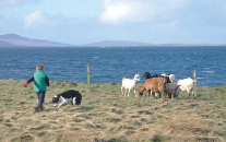 Dairy goats on Orkney
