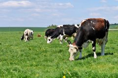 Cattle – watch out for surge of headflies from mid-July